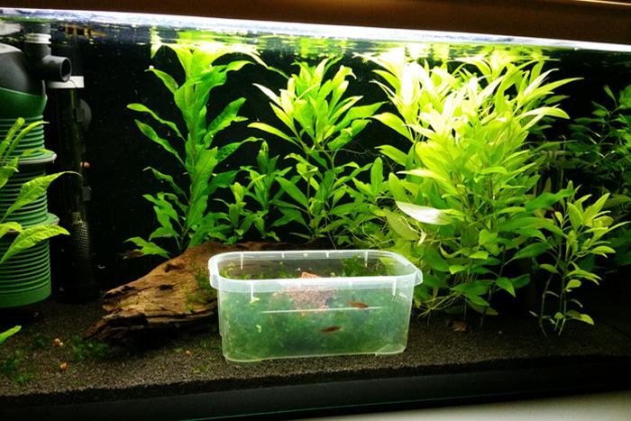 Gesamtaufnahme des Aquariums. Feine Pflanzen zum Ablaichen gibt es nur im dafür vorgesehenen Kasten