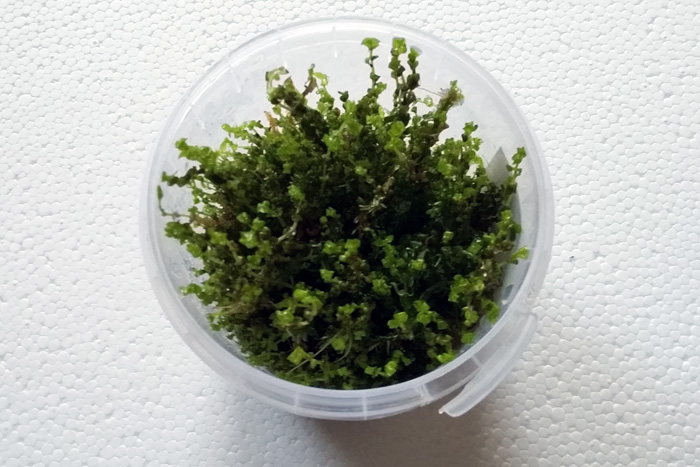 Rotala-Form (Rotala sp. Pearl)